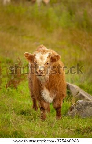 Scotland Angus Longhorn Cattle - stock photo