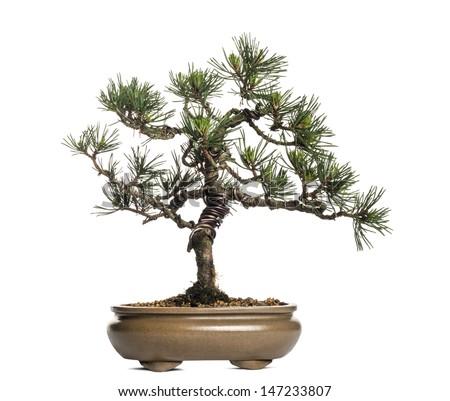 Scots pine bonsai tree, Pinus sylvestris, isolated on white - stock photo