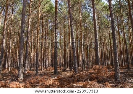 Scots pine forest. Pinus sylvestris. Sierra de la Culebra, Zamora. - stock photo