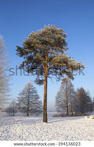 Scots pine (Pinus sylvestris L.) in winter time. - stock photo