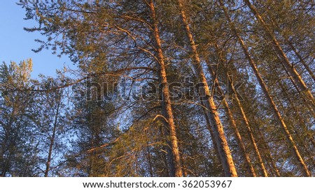 Scots pine trees in the sun against a clear blue sky. Location: Lulea in Northern Sweden.  - stock photo
