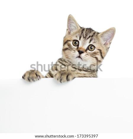 Scottish british cat kitten behind banner - stock photo