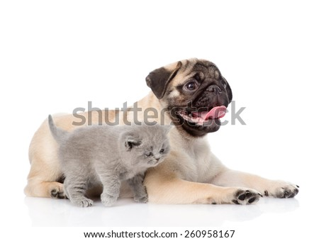 Scottish cat and pug puppy together. isolated on white background - stock photo