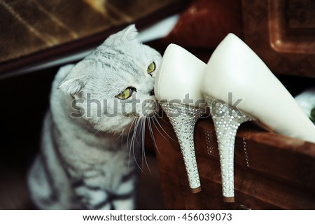 Scottish cat and shoes - stock photo