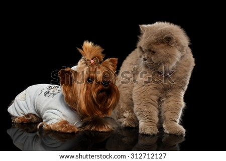 Scottish Cat and Yorkshire Terrier Dog Isolated on Black background - stock photo