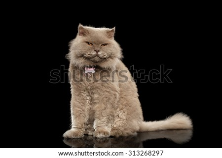 Scottish Cat Sits on Black Mirror and Curiosity Looking, Isolated - stock photo