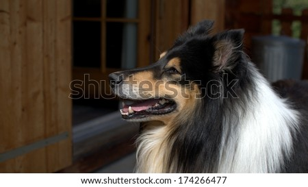 Scottish Collie (or Scotch Collie, Rough Collie) on a Swiss balcony - stock photo