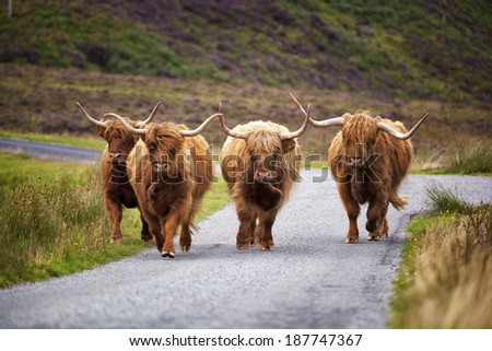 Scottish Cow - stock photo