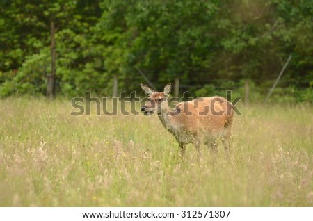 Scottish Doe (Deer) - stock photo