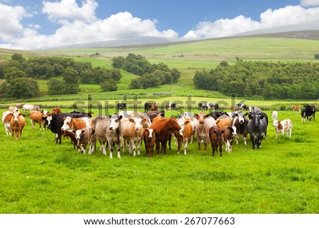 Scottish field and cows - stock photo