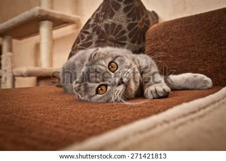 Scottish Fold Cat  - stock photo