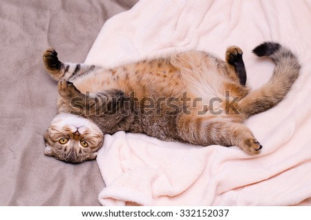 Scottish Fold cat, brown tabby lying belly up on its back. Looking into the camera - stock photo
