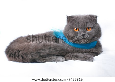 scottish fold cat grey furry plushy - stock photo