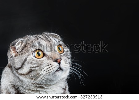 Scottish Fold cat in a Christmas cap and bow..Picture cap and bow to a holiday atmosphere and can be used to illustrate for Christmas or other holidays. Specially made rude and sloppy. - stock photo