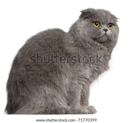 Scottish Fold cat, 11 months old, in front of white background - stock photo