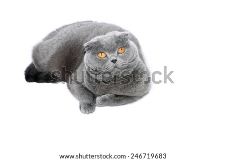 Scottish Fold cat on white background - stock photo
