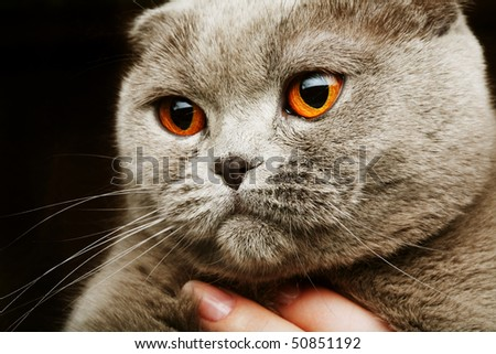 scottish fold grey cat.studio shot. - stock photo