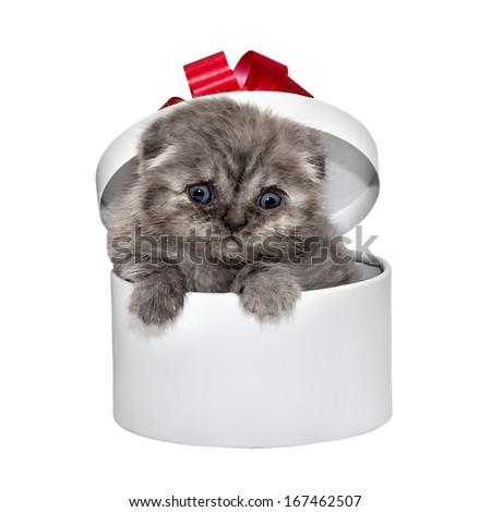 Scottish Fold kitten breed and white gift box - stock photo