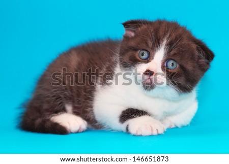 Scottish fold kitten. Kitten with blue eyes on a blue background.  - stock photo