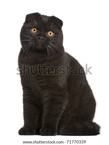 Scottish Fold Kitten, 8 months old, in front of white background - stock photo