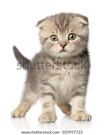 Scottish Fold kitten posing on a white background - stock photo