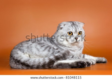 Scottish fold on orange background - stock photo