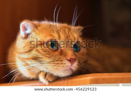 Scottish Fold red eared cat with small ears resting at house - stock photo