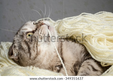 Scottish Fold tangled in the white wool threads yarn and plays nibbling thread - stock photo