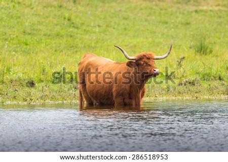 Scottish highland beef in grassland and water - stock photo
