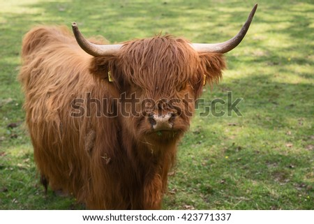 Scottish Highland Cattle on the meadow - stock photo