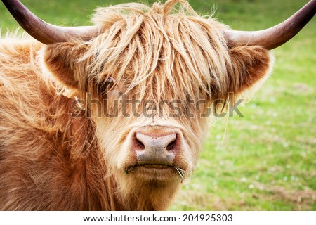 Scottish Highland Cow, Isle of Skye, Scotland, UK  - stock photo