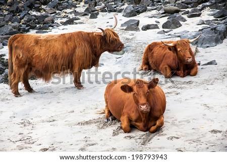 Scottish Highland cows, Scotland, UK - stock photo