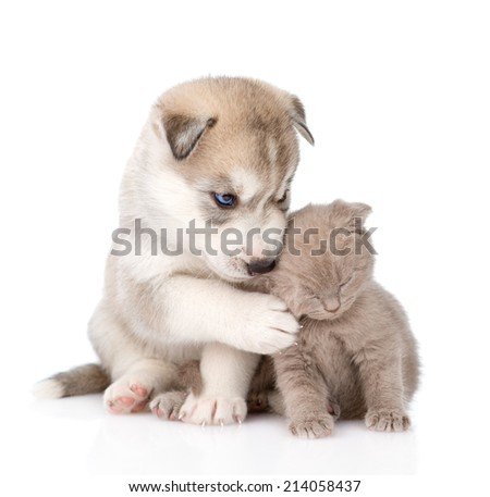 scottish kitten and Siberian Husky puppy together.  isolated on white background - stock photo
