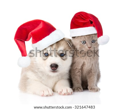 scottish kitten and Siberian Husky puppy with red christmas hats together. isolated on white background - stock photo