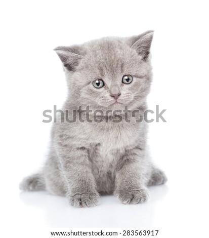 Scottish kitten looking at camera. isolated on white background - stock photo
