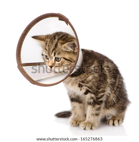 scottish kitten wearing a funnel collar. isolated on white background - stock photo