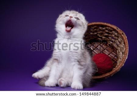 Scottish kittens cat - stock photo