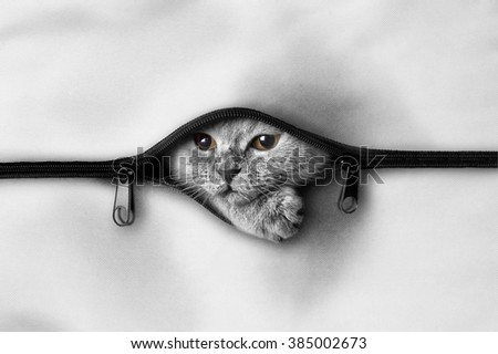 Scottish, lop-eared kitten sticking out of the bag with a zipper. - stock photo