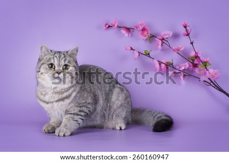 Scottish shorthair cat on a colored background isolated - stock photo