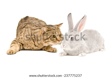 Scottish Straight cat sniffing gray rabbit - stock photo