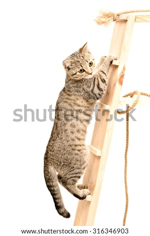 Scottish Straight kitten climbing the wooden stairs isolated on white background - stock photo