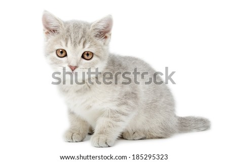 Scottish Straight kitten isolated on white background - stock photo