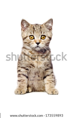 Scottish Straight  kitten sitting looking at camera isolated on white background - stock photo