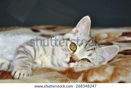Scottish tabby cat breed lying on blanket - stock photo