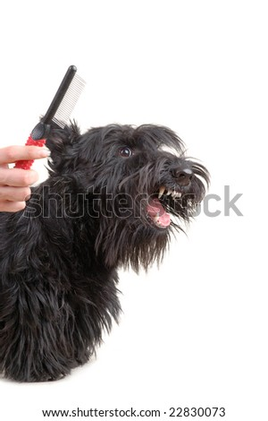 Scottish terrier against white background. - stock photo