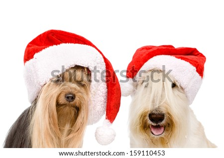 Scottish Terrier and Yorkshire Terrier in red christmas Santa hat. isolated on white background - stock photo