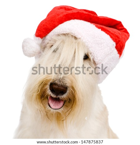 Scottish Terrier in red christmas Santa hat. isolated on white background  - stock photo