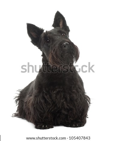 Scottish Terrier, 20 months old, standing against white background - stock photo