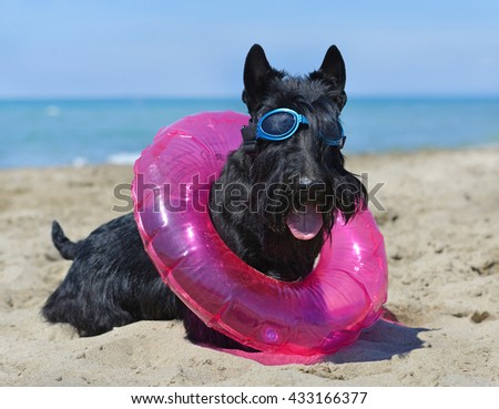 scottish terrier standing on the beach, in France - stock photo