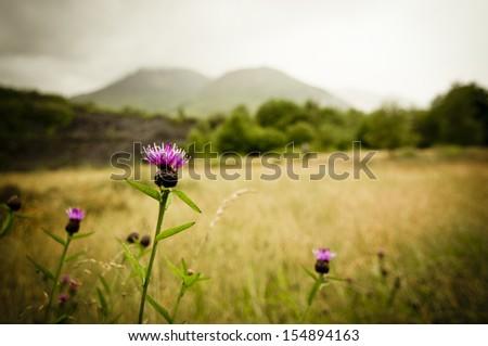 Scottish thistle - stock photo